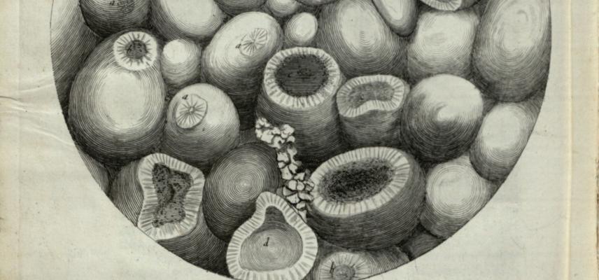 hooke micrographia crop